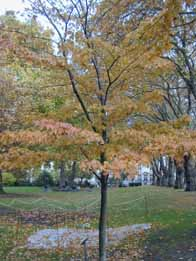 Canadian maple tree