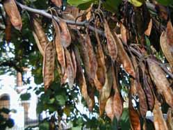 beans from Judas tree