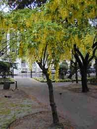 Laburnum tree in spring