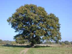 a mature oak tree