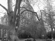 St Paul's behind a beech tree