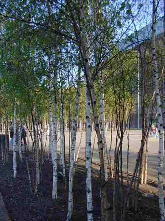 birches by the bankside Tate