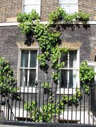 vine tree on Gower Street